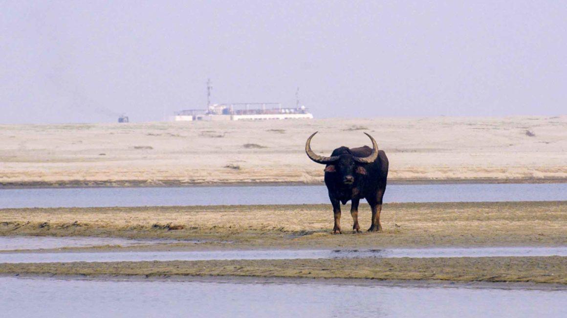 River Brahmaputra Buffalo