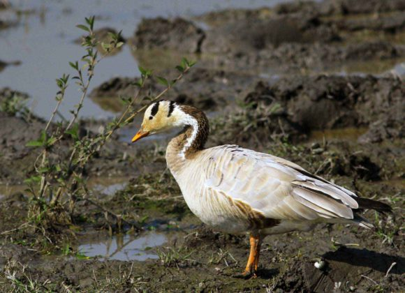 Bird - Bar Headed Goose