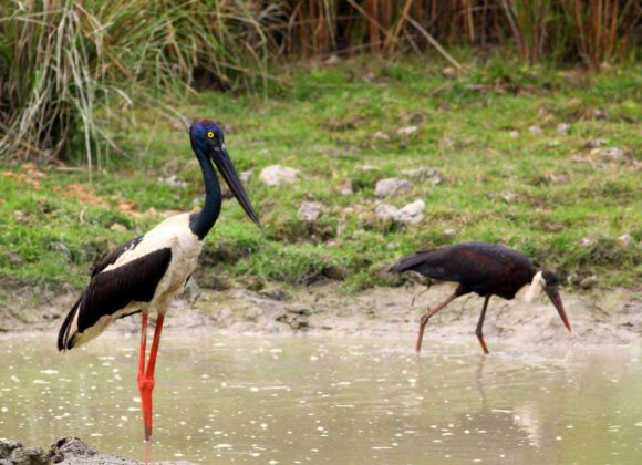 Bird - Black Necked Stork & Wooly Necked Stork