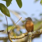 Bird - Chestnut Tailed Starling