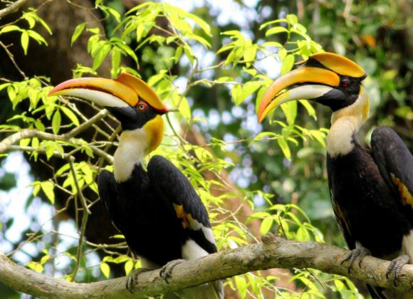 Bird - Great Hornbill