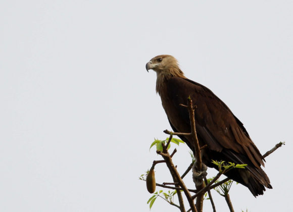 Bird - Pallas Fishing Eagle