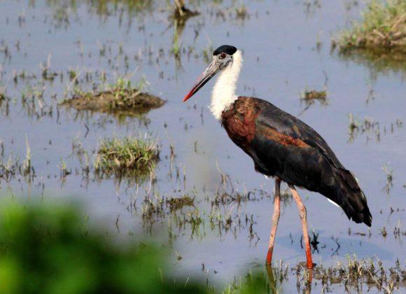 Bird - Wooly Necked Stork