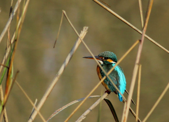 Bird - Common Kingfisher