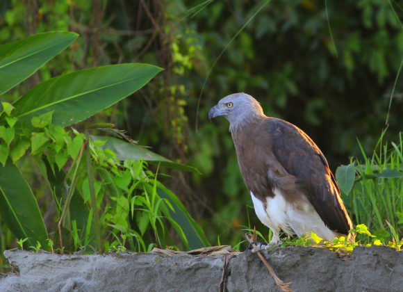 Bird - Grey Headed Fish Eagle