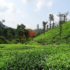 Assam: A Tea Lover's Paradise